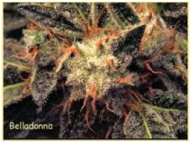 Bella Donna Feminised Seeds from Paradise Seeds