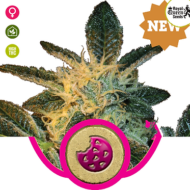 Royal Cookies Feminised Seeds from Royal Queen Seeds