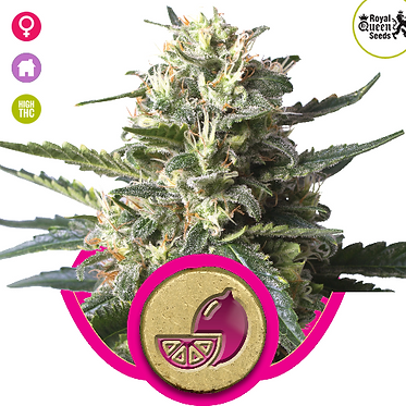 Lemon Shining Silver Haze Feminised Seeds from Royal Queen Seeds
