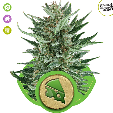 Royal Cheese Auto Feminised Seeds from Royal Queen Seeds