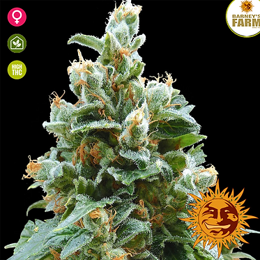 Vanilla Kush Feminised Seeds from Barney's Farm Seeds