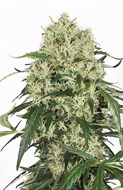 The Ultimate Feminised Seeds from Dutch Passion