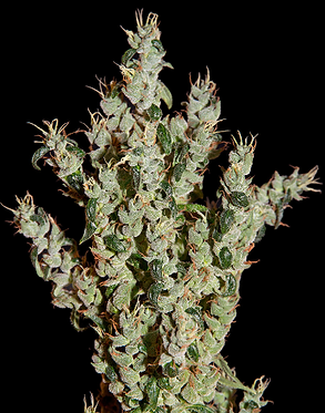 NL5 Haze Mist Feminised Seeds from Greenhouse Seed Co.