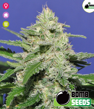 Widow Bomb Feminised Seeds from Bomb Seeds