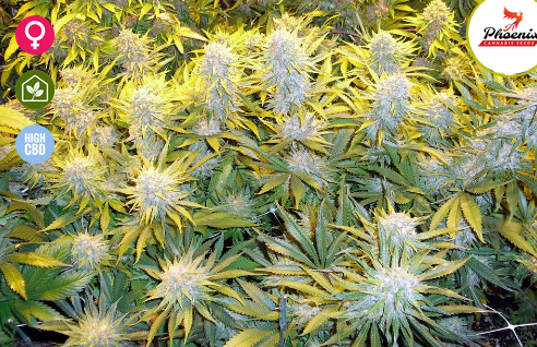 Critical Mass CBD Feminised Seeds from Phoenix Seeds