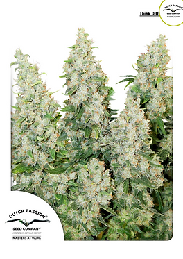Think Different Auto Feminised Seeds from Dutch Passion
