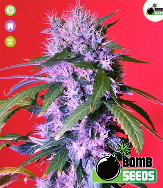 Berry Bomb Feminised Seeds from Bomb Seeds