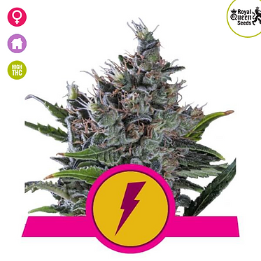 North Thunderfuck Feminised Seeds from Royal Qeen Seeds