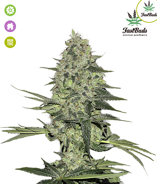 Rhino Ryder Auto Feminised Seeds from FastBuds Seeds