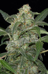 Haze 2.0 Auto Feminised Seeds from Dinafem Seeds