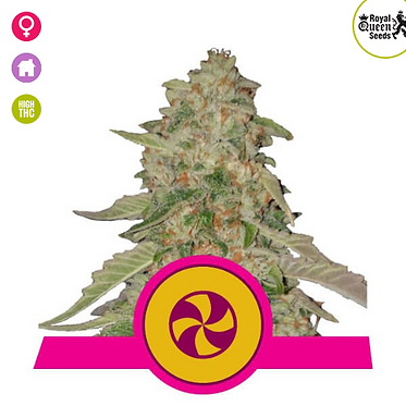 Sweet Zkittlez Feminised Seeds from Royal Queen Seeds