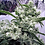 Thumbnail: AK47 Feminised Seeds - 6 from Serious Seeds