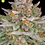 Thumbnail: Strawberry Pie Auto Feminised Seeds from FastBuds Seeds