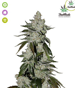Girl Scout Cookies Auto Feminised Seeds from FastBuds Seeds