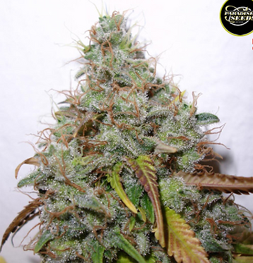 White Berry Feminised Seeds from Paradise Seeds