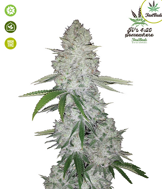 Gorilla Glue Auto Feminised Seeds from FastBuds Seeds