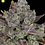 Thumbnail: Gorilla Cookies Auto Feminised Seeds from FastBuds