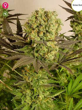 Motavation Feminised Seeds - 6 from Serious Seeds