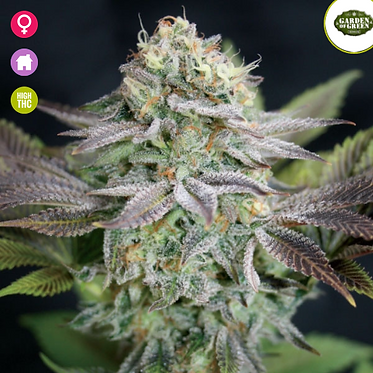 Blue Dream Feminised Seeds from Garden Of Green