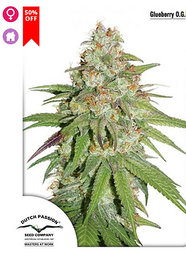 Glueberry O.G. Feminised Seeds from Dutch Passion