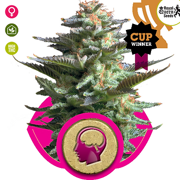Amnesia Haze Feminised Seeds from Royal Queen Seeds