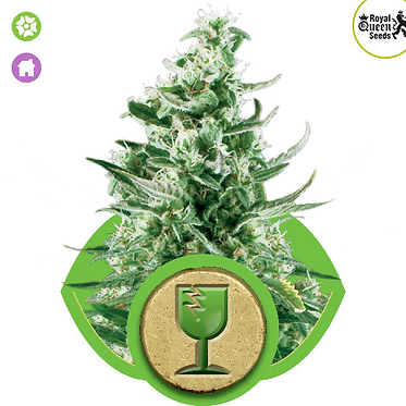 Royal Critical Auto Feminised Seeds from Royal Queen Seeds
