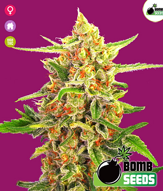 Cherry Bomb Feminised Seeds from Bomb Seeds