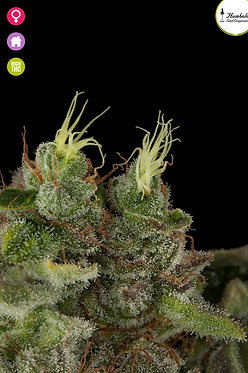 Bubba Kush Feminised Seeds from Humboldt Seed Organization