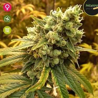 Sativa's Sour Diesel - 5 Feminised seeds from Nirvana Seeds
