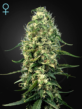 Super Silver Haze CBD Feminised seeds from Greenhouse Seed Co.