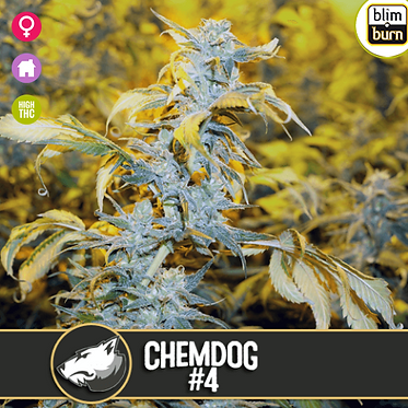 Chemdog #4 Feminised Seeds from BlimBurn Seeds
