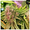 Thumbnail: Bubblelicious Auto - 5 Feminised seeds from Nirvana Seeds