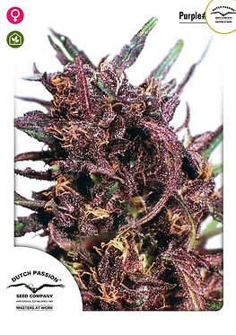 Purple #1 Feminised Seeds from Dutch Passion