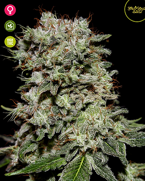 Kalashnikova Feminised Seeds from Greenhouse Seed Co.