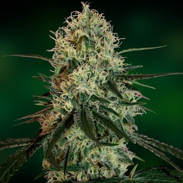 Chronic Thunder Feminised Seeds from Barney's Farm Seeds
