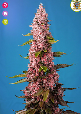 Red Hot Cookies Feminised Seeds from Sweet Seeds