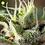 Thumbnail: Gorilla Girl F1 FAST Feminised Seeds from Sweet Seeds