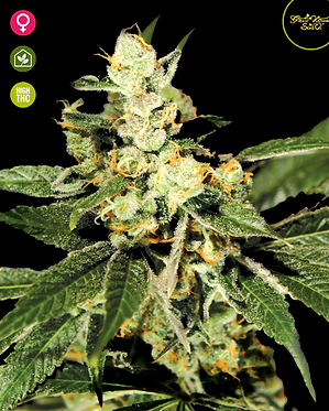 Trainwreck Feminised Seeds from Greenhouse Seed Co.
