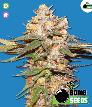 Big Bomb Auto Feminised Seeds from Bomb Seeds