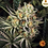 Thumbnail: Dos Si Dos 33 Feminised Seeds Feminised Seeds from Barney's Farm Seeds