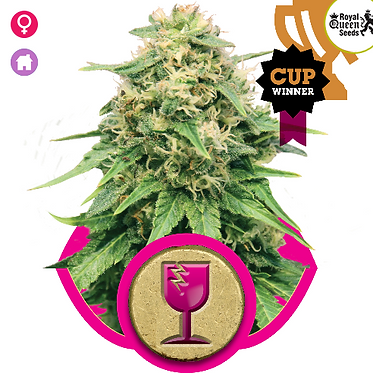 Critical Feminised Seeds from Royal Queen Seeds