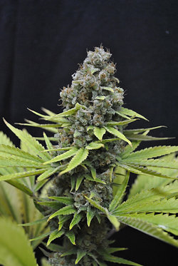Seedsman CBD Shark Shock - 10 Feminised Seeds