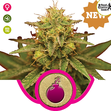 Royal Domina Feminised Seeds from Royal Queen Seeds