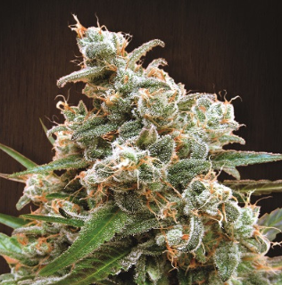 Nepal Jam Feminised Seeds from Ace Seeds