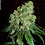 Thumbnail: Bubble Gum Feminised Seeds - 6 from Serious Seeds