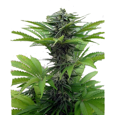 Early Skunk Feminised Seeds from Seedsman