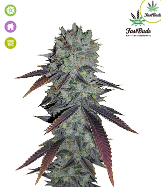 Fastberry Auto Feminised Seeds from FastBuds Seeds