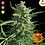 Thumbnail: Critical Kush Feminised Seeds from Barney's Farm Seeds