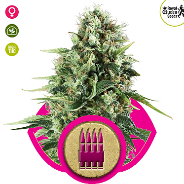 Royal AK Feminised Seeds from Royal Queen Seeds