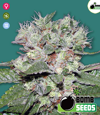 Bomb CBD Feminised Seeds from Bomb Seeds